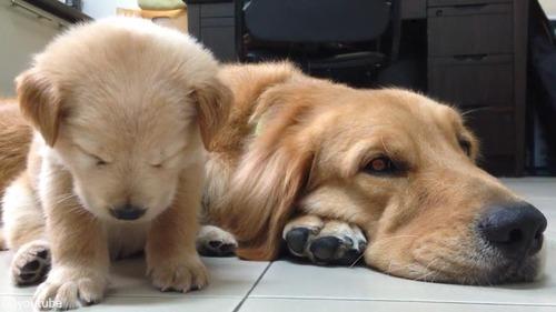 子犬が睡魔と格闘→あっさり負ける01