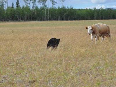 クマと牛の戦い00