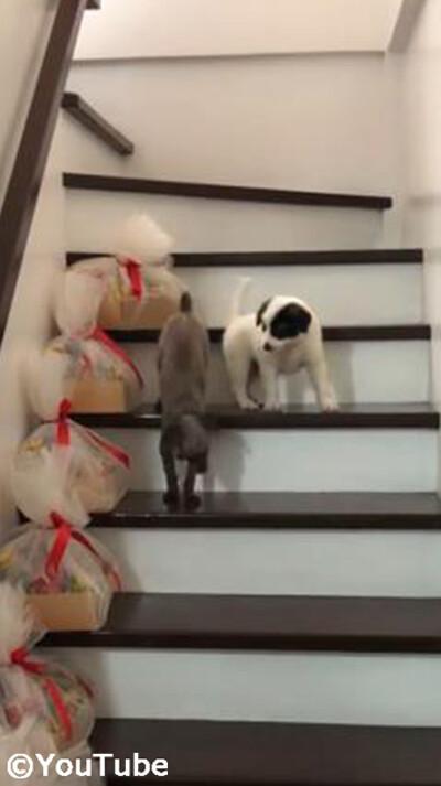 階段を下りられない弟を助けるお姉ちゃんワンコ03