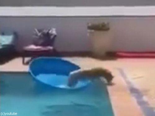 プールからボールを拾い上げる犬06