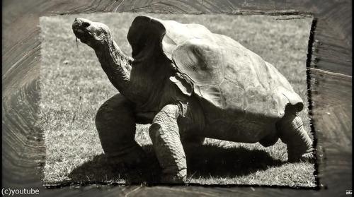 絶滅を救ったガラパゴスの「絶倫」亀が引退02