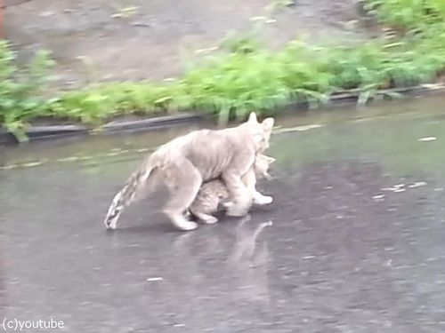 雨の日に子猫をくわえて走る母猫03