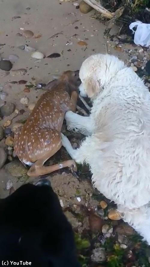 犬が小鹿を救出03