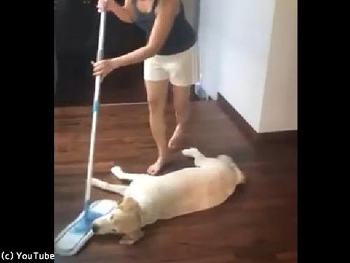 「暑くて動けません…」お掃除を邪魔するワンちゃん00