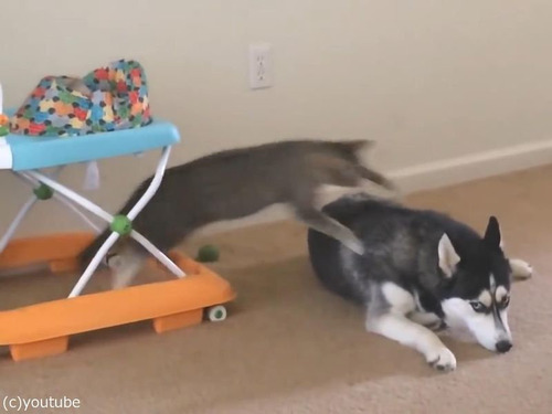 犬の背中に飛び乗ろうとする猫00