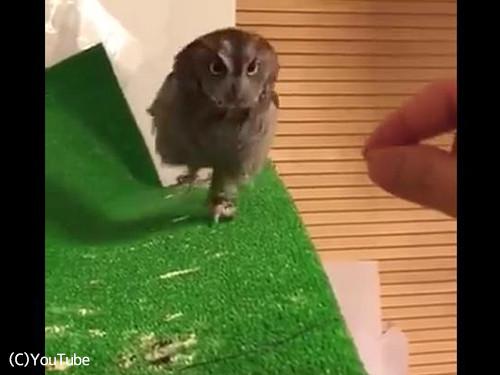 フクロウは翼のある猫なんだな02