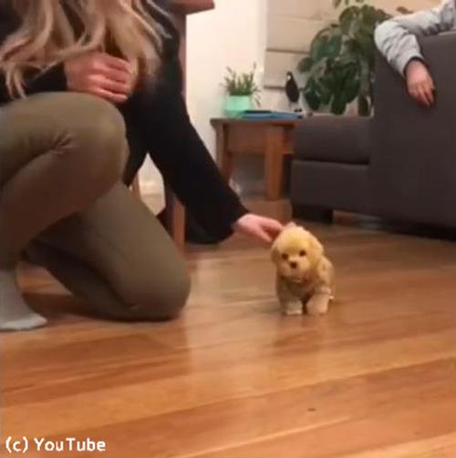 子犬、おもちゃの犬に激しくやきもちをやく01