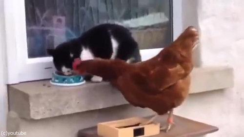 猫とニワトリ02