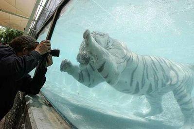 泳ぐ虎06