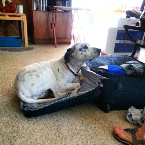 飼い主が旅行に行くことに気付いたペットたち06
