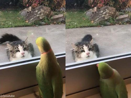 猫に「いないいないばあ」をするインコ01