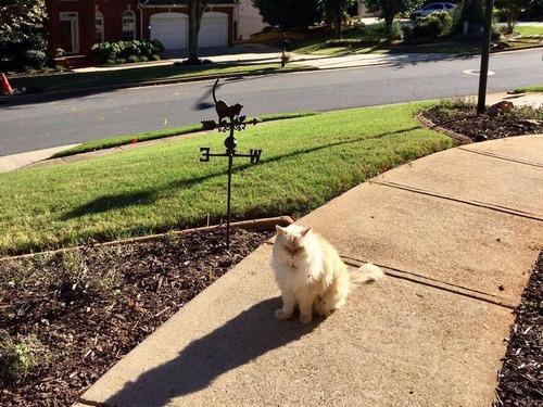隣人の猫シンバ02