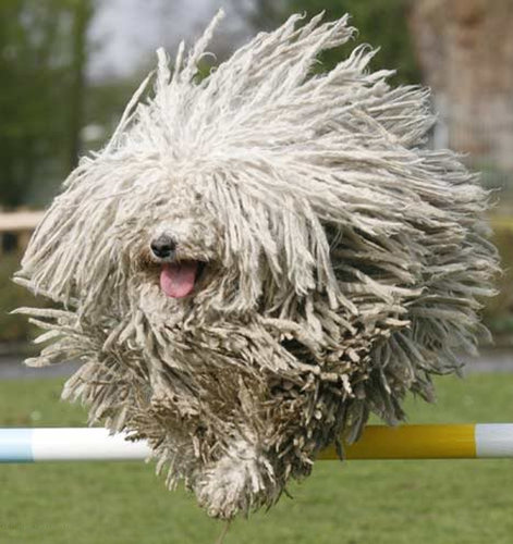 Dog that looks like a mop