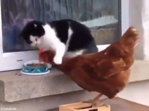猫とニワトリ00