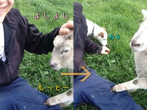 羊をなでなでしてたら犬が00