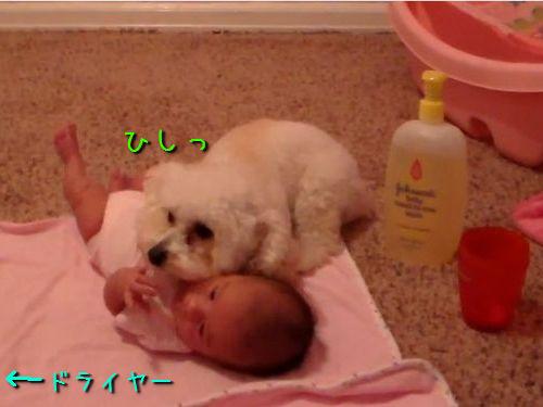 赤ちゃんを守るトイプードル00