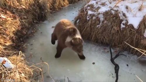凍った川ではしゃぐ子グマかわいい01