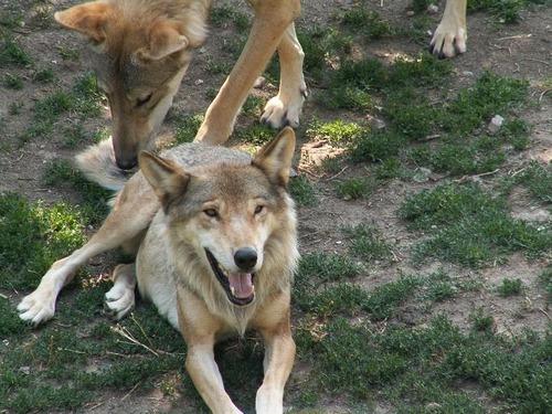 ラブラドールとオオカミ03