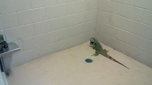 イグアナが刑務所に01