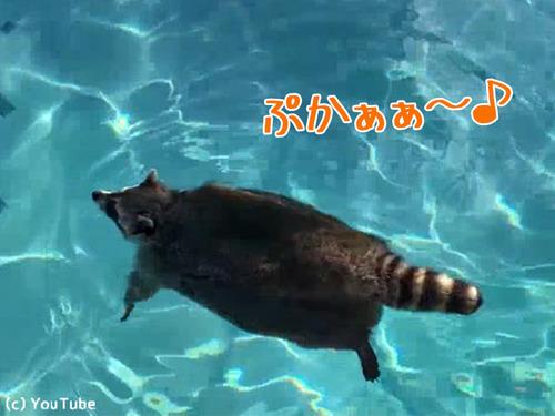 プールを泳ぐアライグマ00