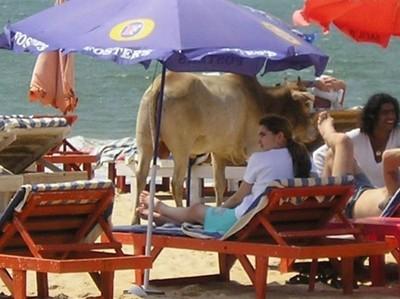 リゾート・ビーチに牛01