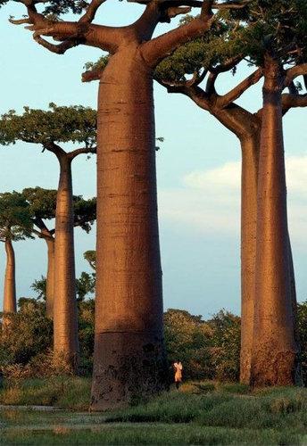 バオバブの木04