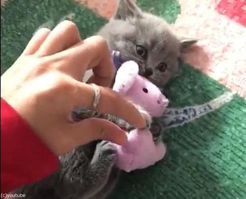 ぬいぐるみを離さない子猫01
