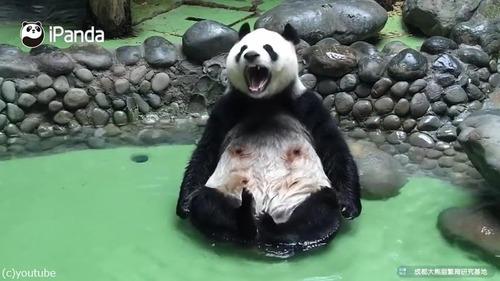 パンダの入浴風景が完全に人間04