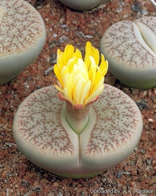 進化して石に見える植物02