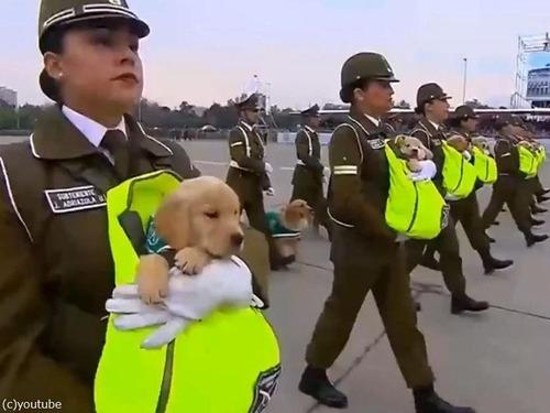 警察権の子犬がチリのパレードでお披露目04