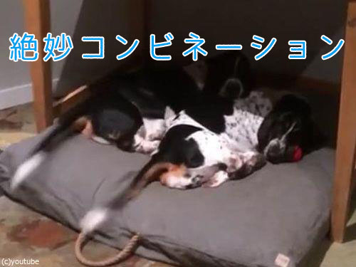 2匹の犬が寝ながら、しっぽをふりふり00