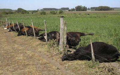 1発の落雷で52頭の牛が一瞬にして死ぬ