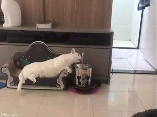 最も優雅に水を飲む猫00