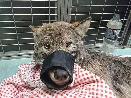 犬を助けたと思ったらオオカミだった00