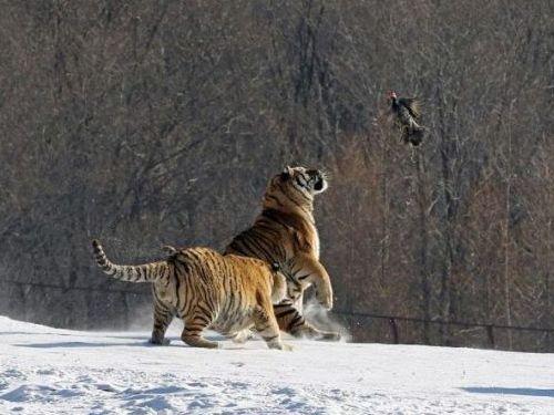 虎のジャンプ失敗01