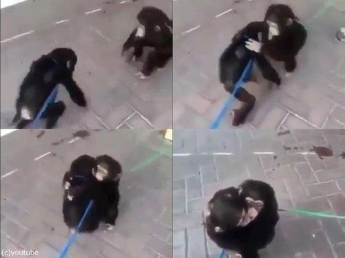 チンパンジー兄弟の再会00