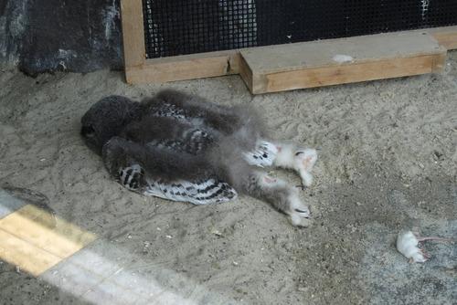 うつぶせに寝るフクロウ01