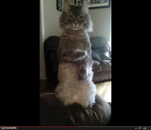 人間のように立つ猫02