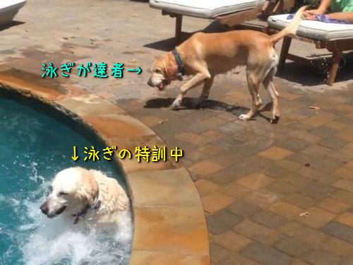 泳ぎの達者な犬とそうでもない犬00