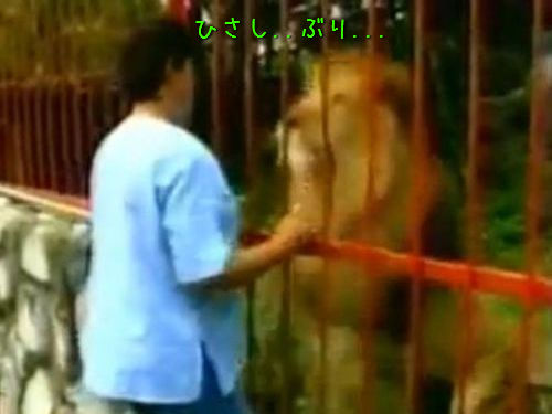 ライオンと再開00
