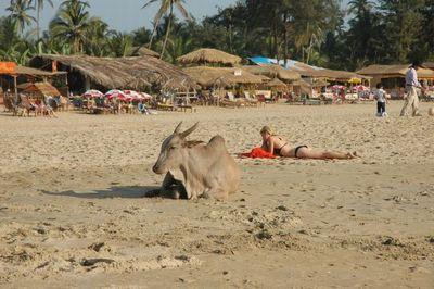 リゾート・ビーチに牛09
