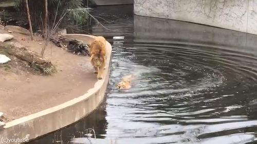 ライオンのうっかりミス04