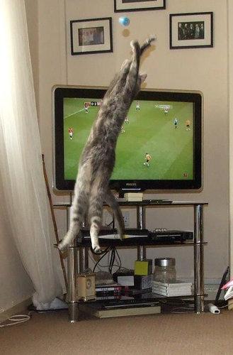 テレビを見るのを邪魔する猫10