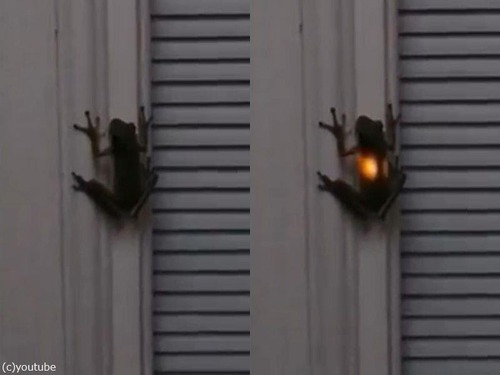 カエルがホタルを食べた01