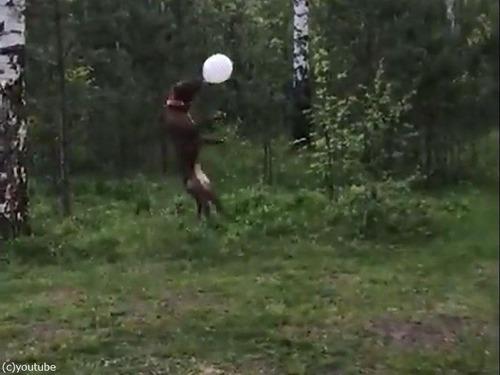 風船トスが上手な犬04