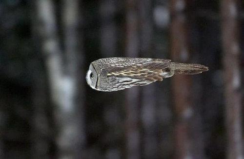 飛ぶフクロウ01