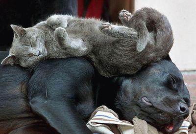 犬の上で気持ちよさそうに寝る猫
