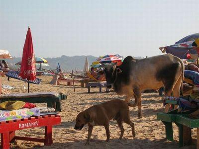 リゾート・ビーチに牛02