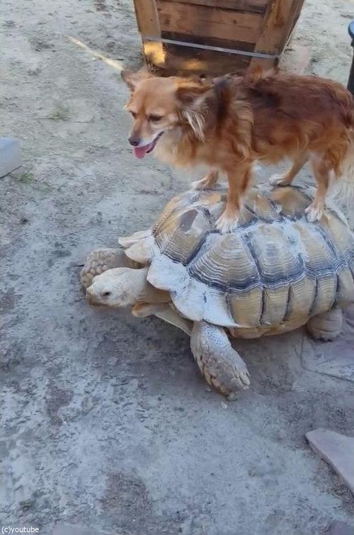 亀に乗る犬02