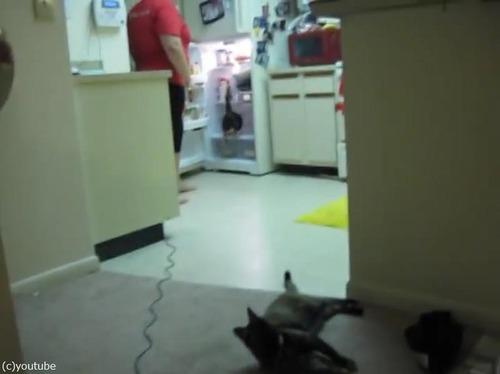 猫、冷蔵庫にまっしぐら02